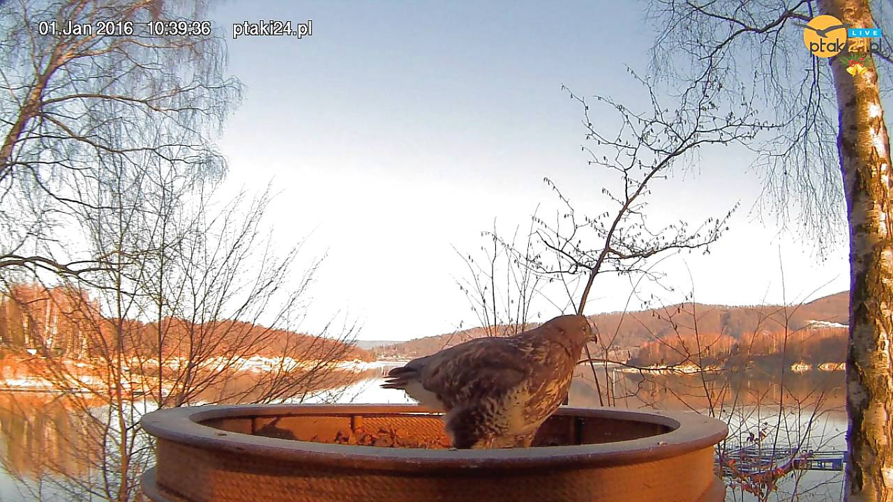 Myszołów w karmniku dla ptaków drapieżnych nad Soliną