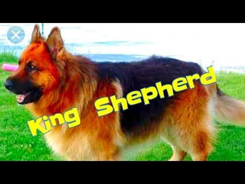 King Shepherd: German shepherd hybrid