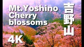 世界遺産・吉野山、霧の山桜を観賞