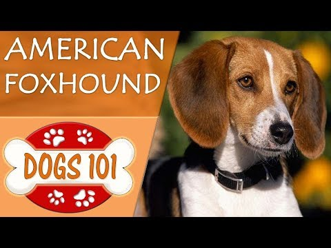 Dogs 101  AMERICAN FOXHOUND  Top Dog Facts About the AMERICAN FOXHOUND