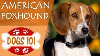 Dogs 101 - AMERICAN FOXHOUND Top Dog Facts About the AMERICAN FOXHO...