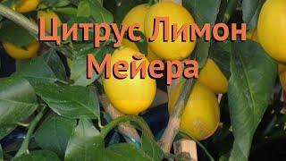 цитрус обыкновенный Лимон Мейера (limon meyera)  обзор: как сажать, саженцы цитруса Лимон Мейера