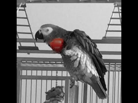 African Grey Parrot (Macy) Leaning Rocky Theme Song