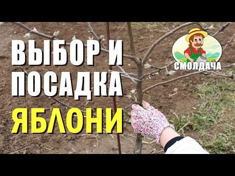 Видео как посадить саженец яблони весной