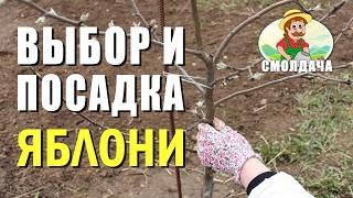 Как посадить яблоню / Правильная посадка саженца весной