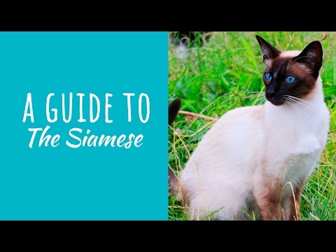 A Guide To The Siamese Cat