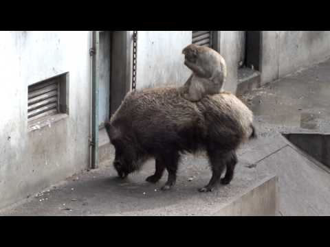 Japanese monkey riding a wild boar.イノシシに乗るニホンザル。