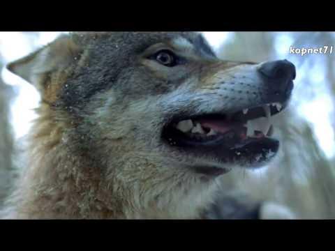 Клип Комиссар - Волчья кровь