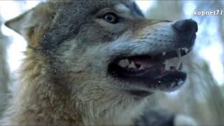 Download Волчья кровь - Комиссар Mp3 and Videos
