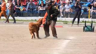 Working Dogue De Bordeaux/ Бордоский дог охрана