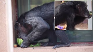 Chimpanzee Celebrates 41st Birthday at Troll-Themed Party
