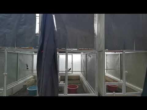 Jual Indukan Produksi Ekor panjang 22cm