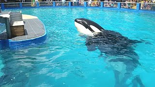 This Lonely Marine Park Orca Is Sick And Drugged Up To The Point Where She Can Scarcely Even See