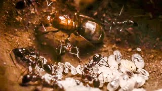 Best Of Ants | BBC Earth