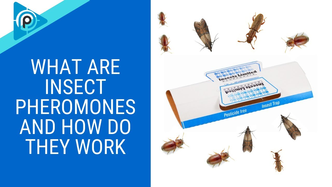 What are insect pheromones and how do they work? (episode 87)