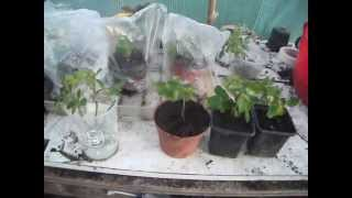 How to Propagate Roses from Cuttings - 3 Simple Methods to Propagate them from Cuttings thumbnail