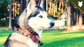 ARE SIBERIAN HUSKY GOOD GUARD DOGS?