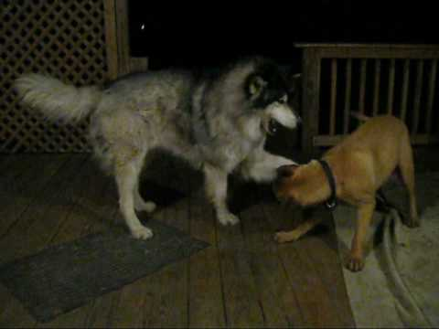 120lb Bull Mastiff vs. 140lb 6'2'' Timber Wolf - YouTube