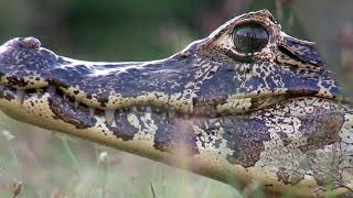 The Pantanal: A Jewel of South America, HD