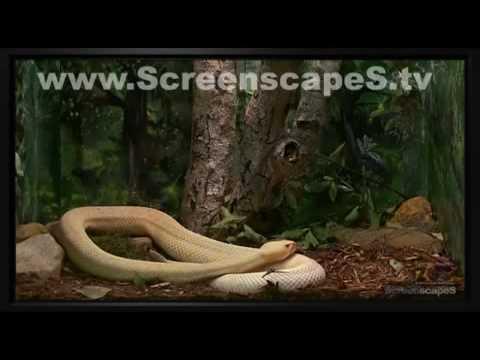 albino eastern diamondback rattlesnake(crotalus adamanteus)