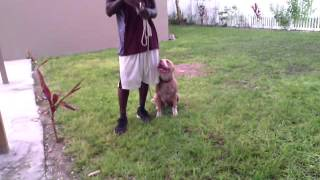 Amazing obedience with a 5month old pitbull