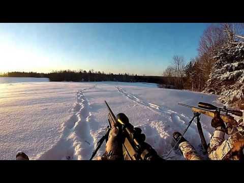 Coyote Hunting New Brunswick (Blonde Coyote)