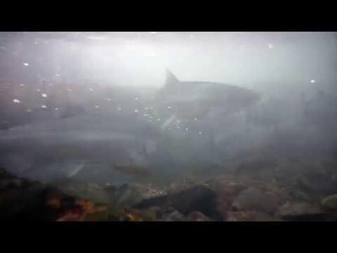 Sockeye salmon returning upriver in Kachemak Bay State Park
