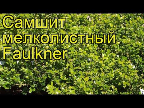 Самшит мелколистный Фолкнер. Краткий обзор, описание характеристик buxus microphylla Faulkner