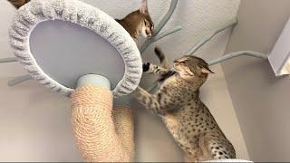 Big Cats Fighting In A Cat Tree!  Cat Attack!  #cat #video