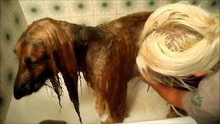 Afghan Hound bathing in Azbelltas way