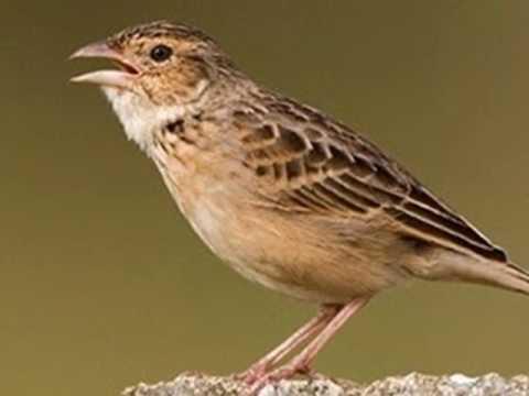 Cara Merawat Burung Branjangan Agar Cepat Gacor Dan Rajin Bunyi Youtube