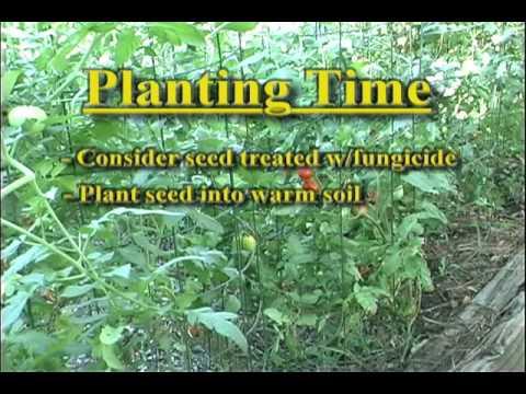 Gardening In Kentucky   Tomato Diseases   YouTube