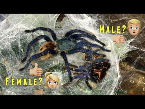"""Please DONT be a MALE !!!"" (Why I ALWAYS want FEMALE tarantulas) Q&A"