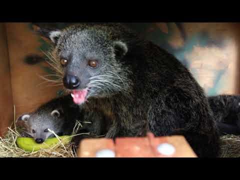 Baby Binturongs (aka Bearcats!) at Perth Zoo