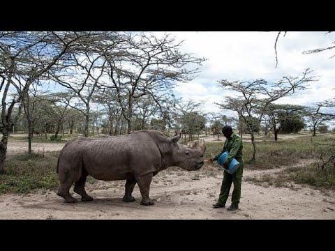 World loses last male northern white rhino, Sudan dies in Kenyan conservancy