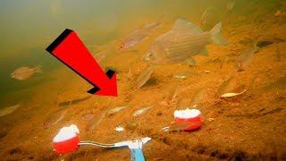 МАНКА или МАНКА С УКРОПОМ??? Реакция рыбы. Подводное видео