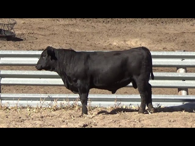 Connealy Angus Lot 109