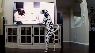 Dalmatian Watching Dog And Cat Videos On Youtube