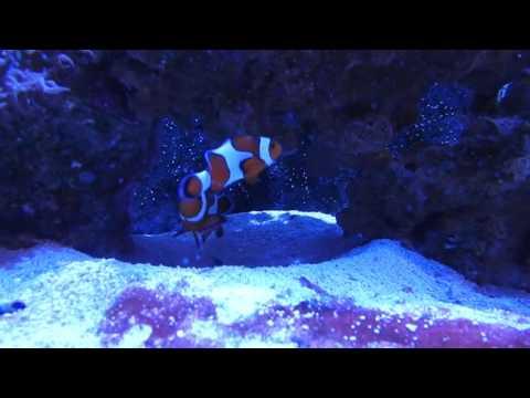 Ocellaris Clownfish Initial Meeting/Pairing
