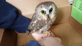Injured Owl Rescued | Cute Saw Whet Owl | Released Back into the Wild