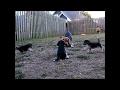 Beaggle Puppies chasing beagle dad
