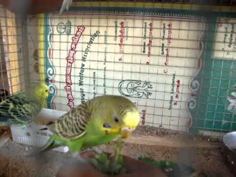 Feeding frenzy (budgies) and Taming walkthrough