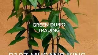 "Anak pokok durian ""rare & best"". Green Durio Nursery.."