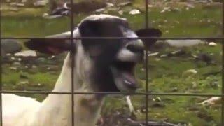 Скачать Crazy Frog Alex F Goat Remix