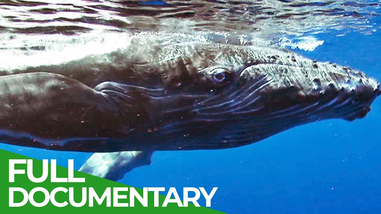 Humpback Whales in Danger | Blue Realm | Free Documentary Nature