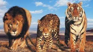 Лев, Пантера, Ягуар против Крокодилов. Подборка.(Лев, Пантера, Ягуар против Крокодилов. Подборка. Убивают крокодила. Бои животных: Лучшая подборка бои животн..., 2016-03-05T23:26:23.000Z)