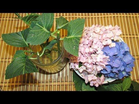 Гортензия крупнолистная или макрофила/Hydrangea large leaf or macrophylla