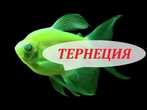 Тернеции в аквариуме. Глофиш, карамелька. Размножение, содержание и чем кормить.