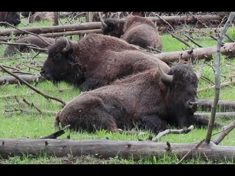 Where the Buffalo Roamed: Restoring the American Serengeti (Princeton Conservation Society)