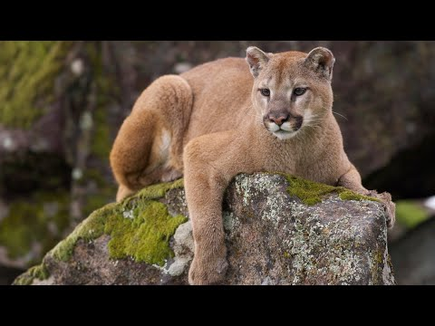 befeda5f0804f Colorado Hunter Fights Off Mountain Lion With Pocketknife - Geek.com
